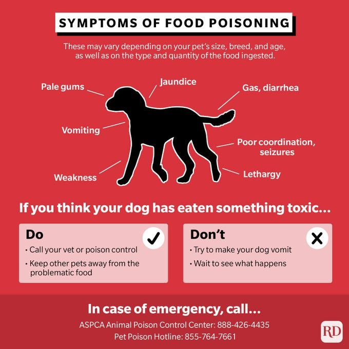 Symptoms of food poisoning and what to do when your dog may have ingested a dangerous food