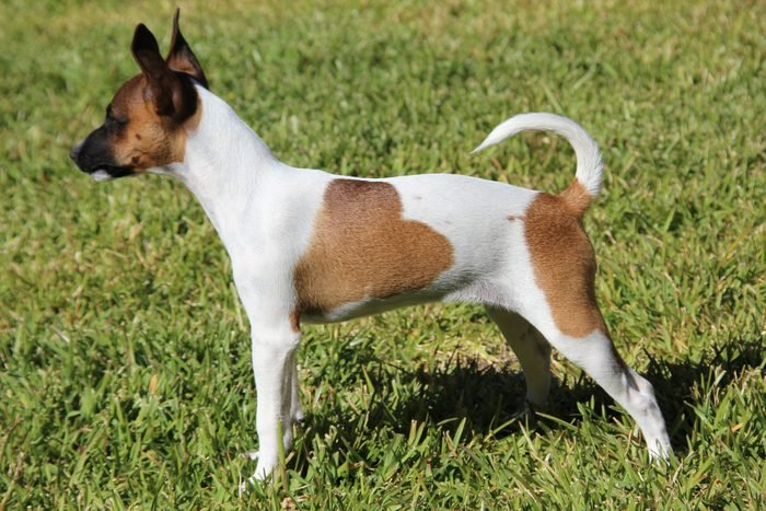 Tenterfield Terrier dog standing outside in the grass