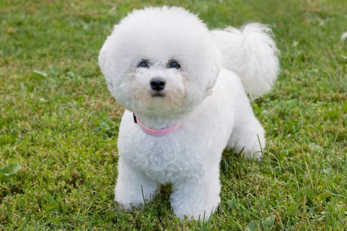 Cute bichon frise is looking at the camera. Pet animals.