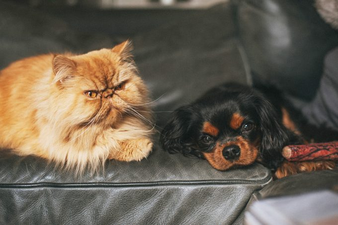 Persian Cat Sitting Next To Cavalier King Charles Spaniel Dog