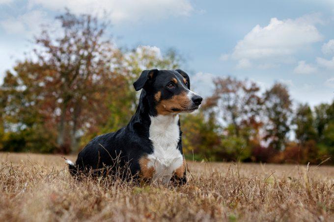 Appenzeller Sennenhund outside in nature