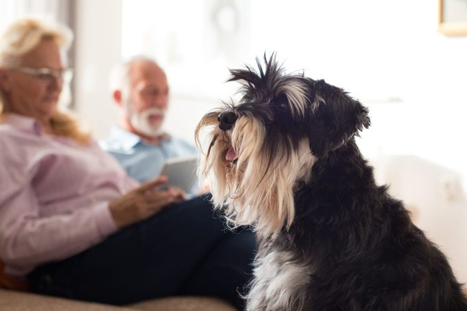 Senior couple with miniature schnauzer on couch