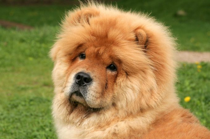 Cute chow-chow puppy sitting on grass