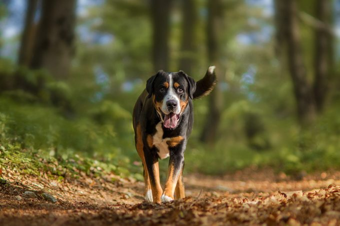 greater swiss mountain dog walking in the woods