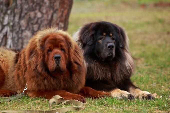 Two Tibetan Mastiff dogs sitting outside