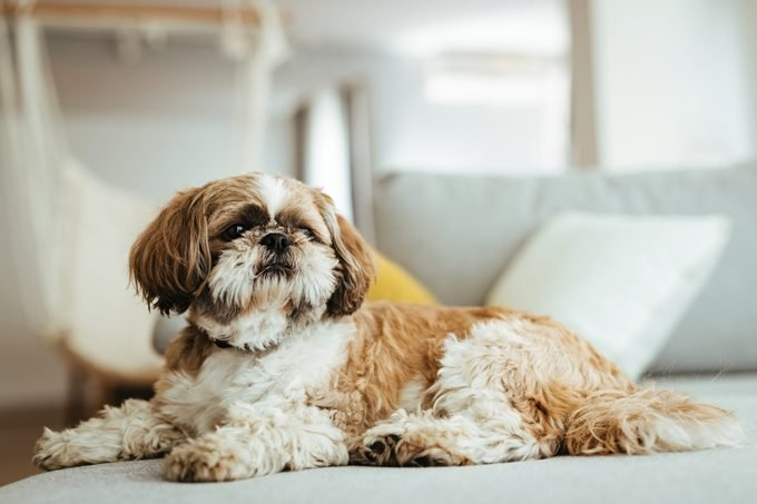 Shih tzu dog relaxing on the sofa at home