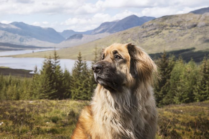Leonberger dog posing in front of a beautiful mountain view