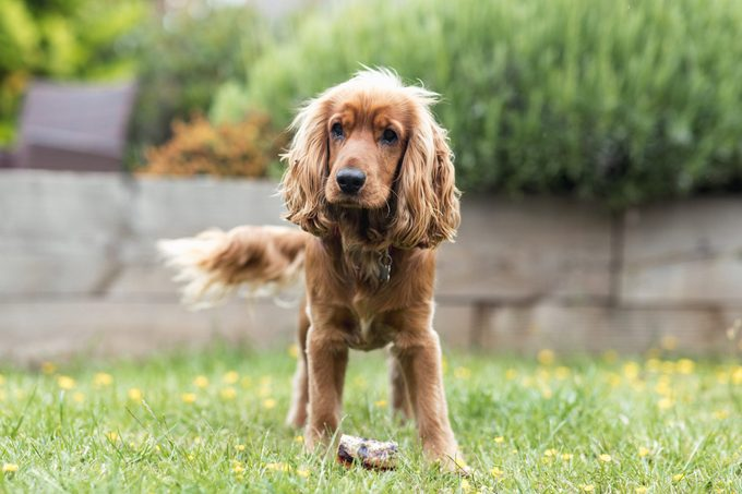 cocker spaniel ready to play with his cat friend