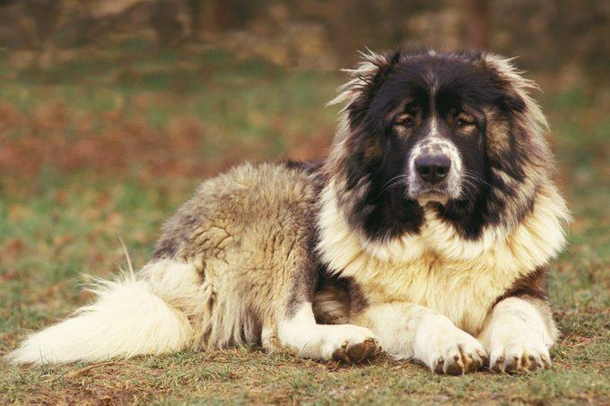 caucasian shepherd dog sitting outside