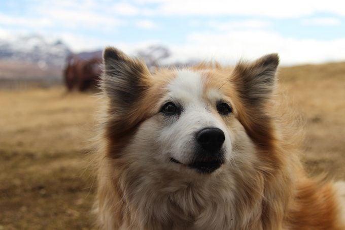 An Icelandic sheepdog outside on a farm