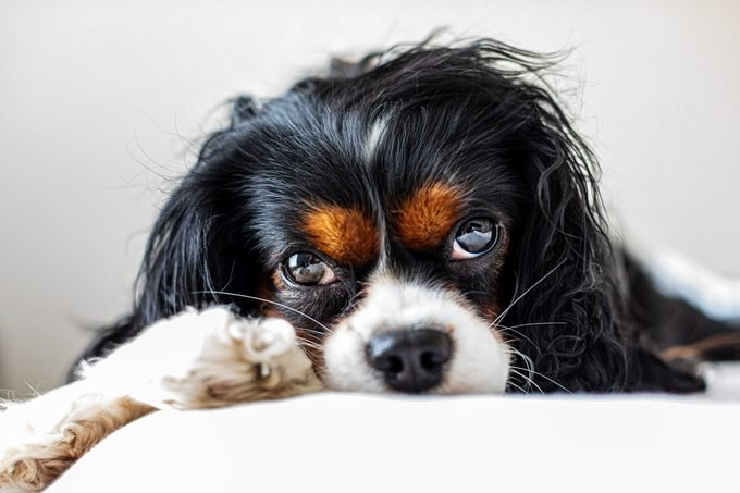 Close-up portrait of cavlier king charles spaniel