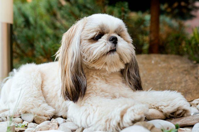 Shih tzu dog in garden with flowers on white rocks