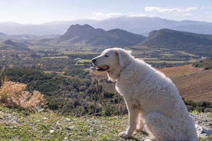 Kuvasz dog sitting in the sun overlooking the mountains