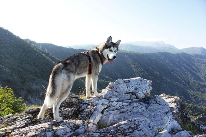 siberian husky standing on rock overlooking mountains