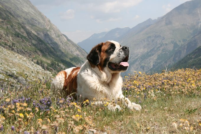 A saint bernard dog sitting on a meadow in the mountains