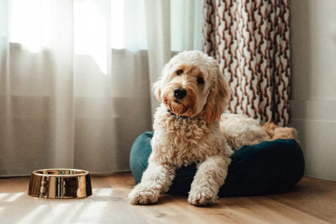 Goldendoodle Resting In Dog Bed at home