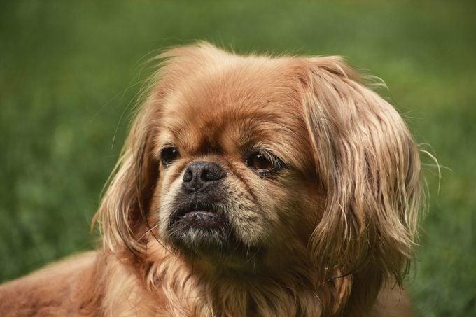 pekingese dog sitting outside