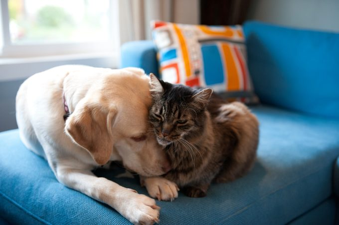 labrador retriever and cat