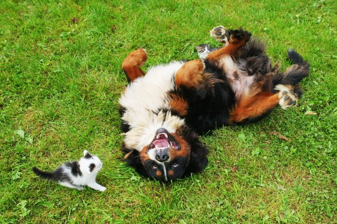 Bernese mountain dog and cat friend