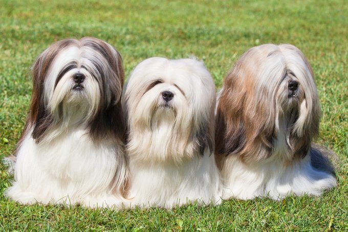 Portrait of three purebred Lhasa Apso dogs on green grass