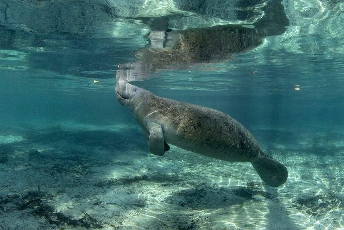 Manatees at Crystal River, Florida