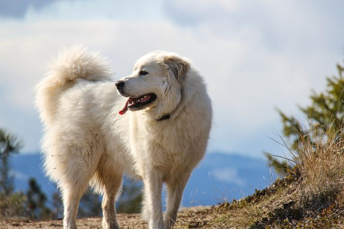 Great Pyrenees mountain dog in the mountains