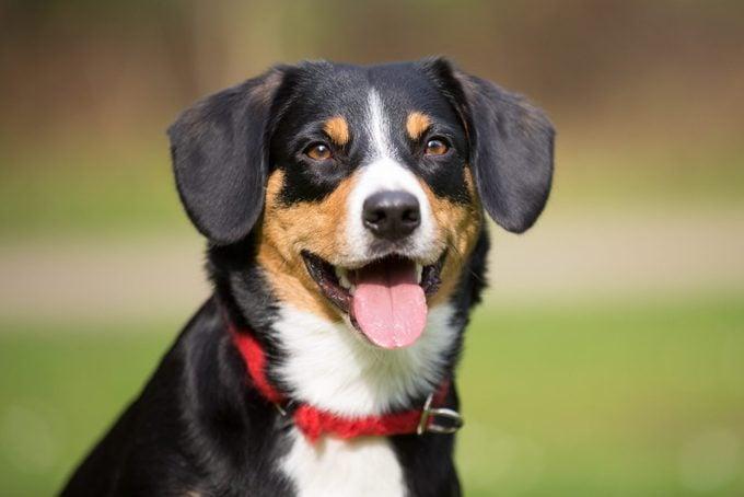 Entlebucher mountain dog outside playing