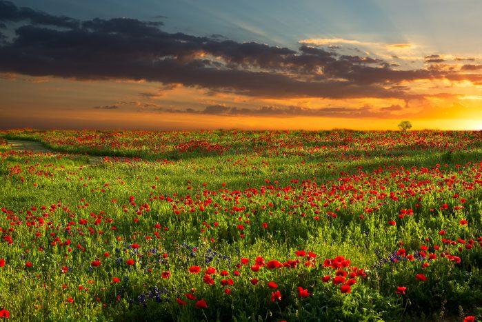 Sunrise Over Red Corn Poppy Fields in Texas
