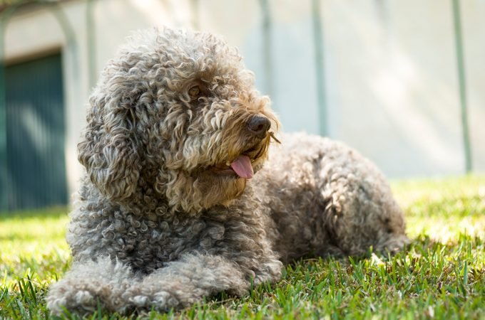 Barbet dog waiting for his cat friend