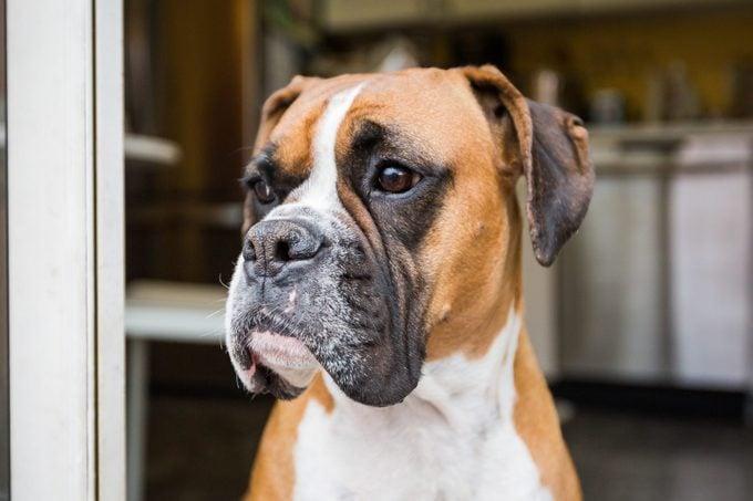 Boxer Dog standing in doorway at home
