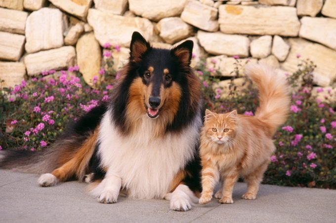Collie And Yellow Cat On Sidewalk