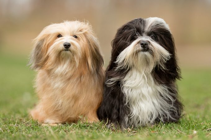 two havanese dogs standing in the grass outside