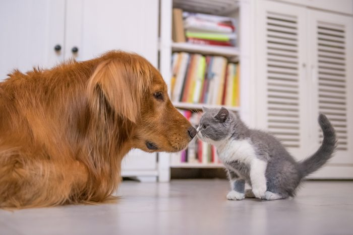 Golden Retriever and British shorthair cat