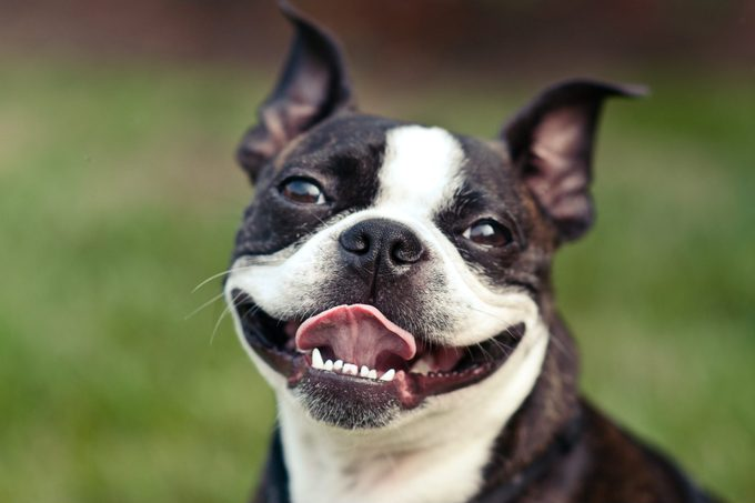 A cute Boston Terrier smiles with his tongue sticking out.