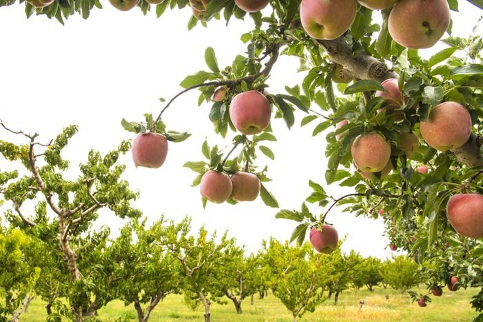 Fruit Orchard, Growing Apples, Grand Valley, Western Colorado