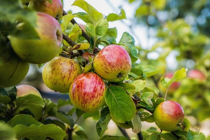 Ripe apples on apple tree in an orchard