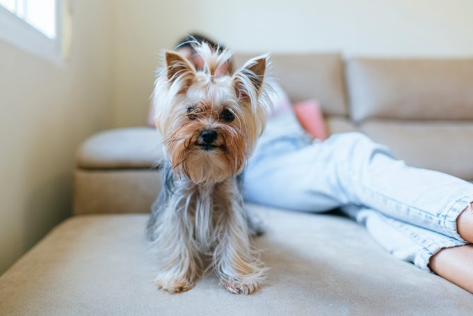 Portrait of Yorkshire Terrier sitting on couch at home with owner