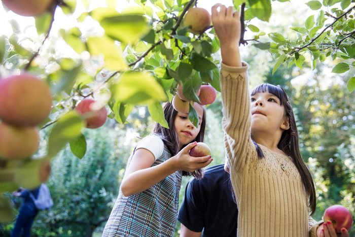Daughters with father harvesting in apple orchard