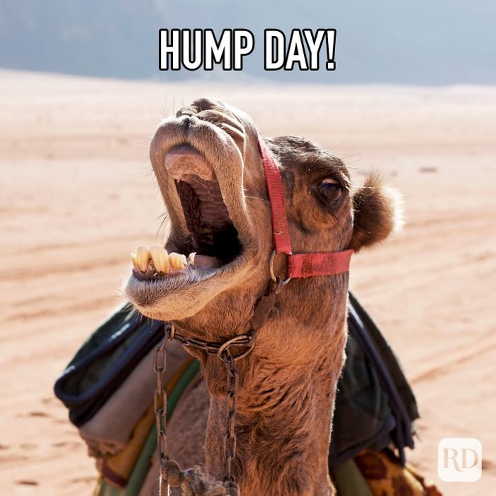 Hump Day meme text over image of camel yelling