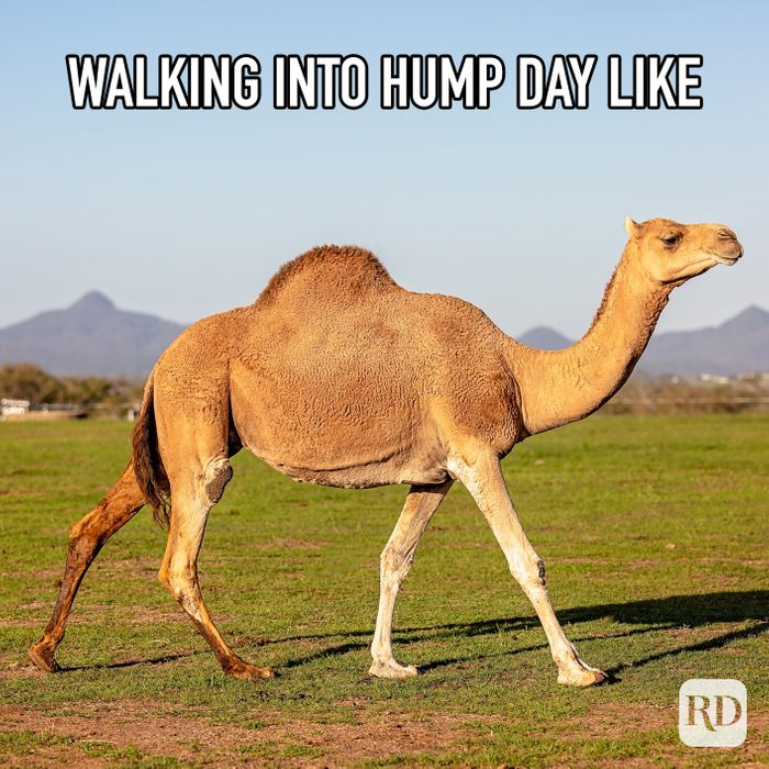 Walking Into Hump Day Like meme text over image of camel walking