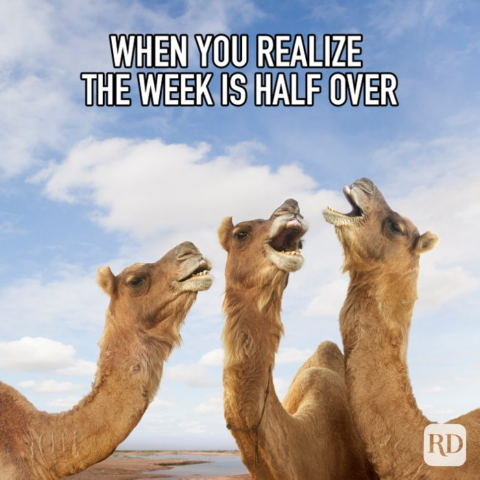When You Realize The Week Is Half Over meme text over image of camels laughing