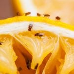 10 Best Ways to Get Rid of Pesky Fruit Flies