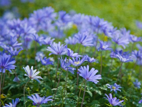 also known as the winter windflower anemone blanda blue thrives in partial shade its purplyblue daisylike flowers will add a festive touch to your - Plants That Do Well In Shade