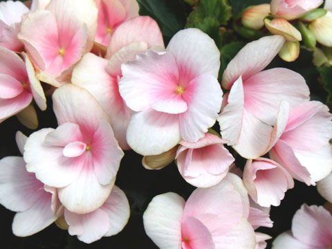 Rous Begonias Blossom Throughout The Summer Thriving In Shady Spots Where Few Other Plants With