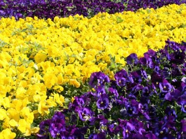 Landscaper Secrets Purple And Yellow Flowers