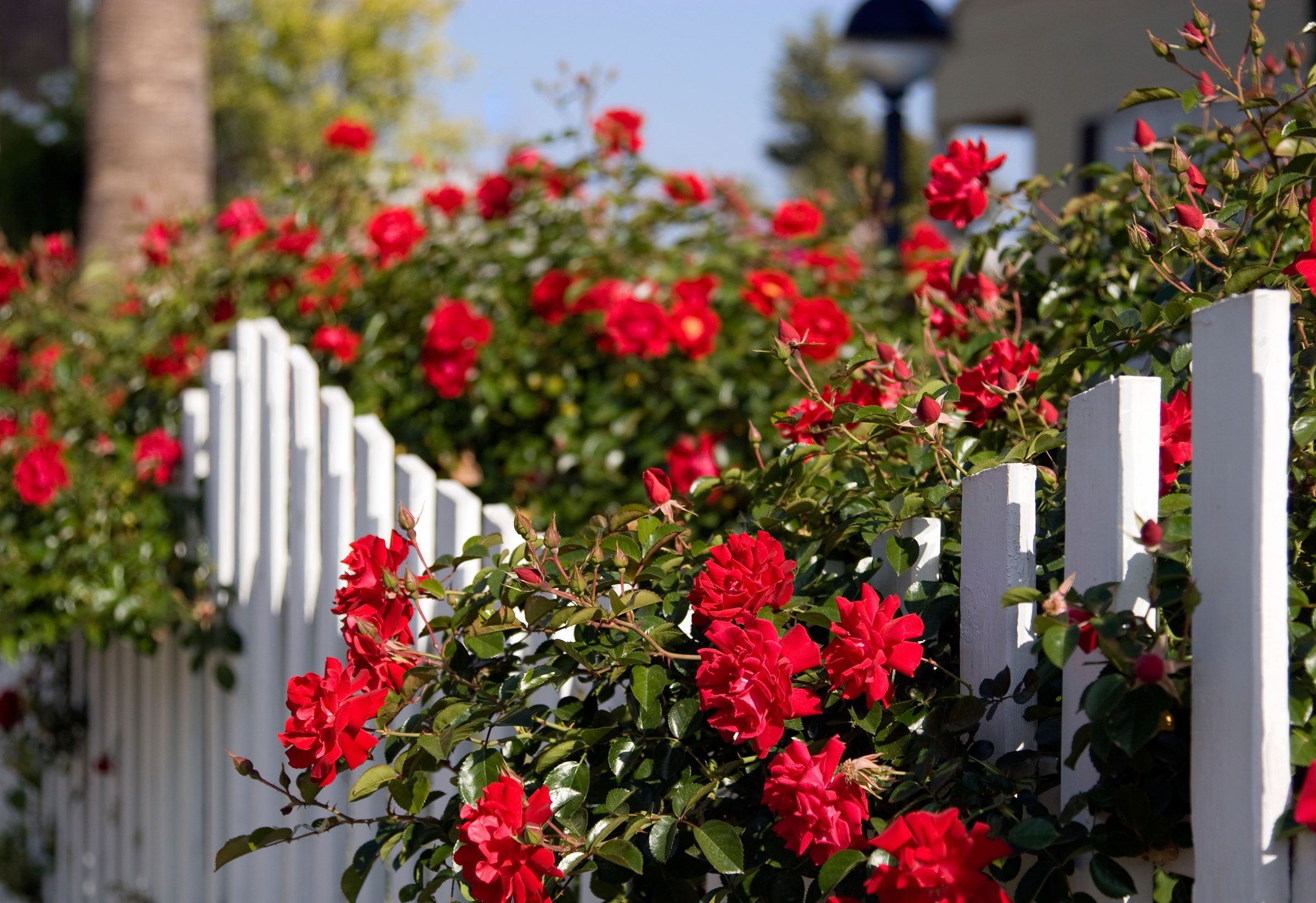 5. Plant thorny shrubs, such as rosebushes, beneath ground-floor windows.
