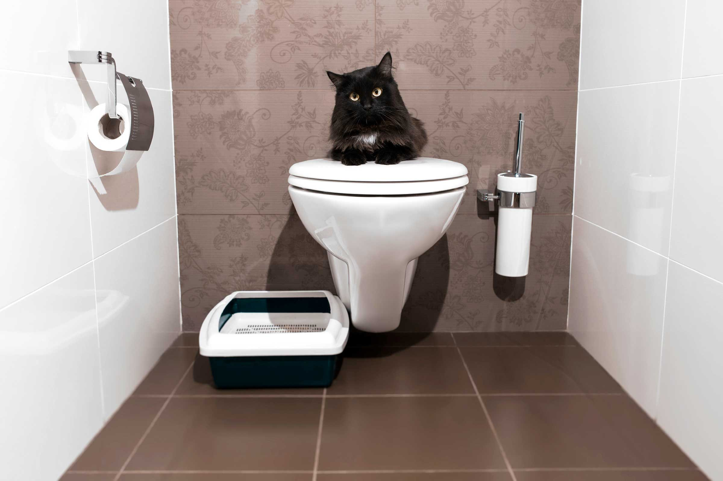 How to train a cat to: Use a toilet
