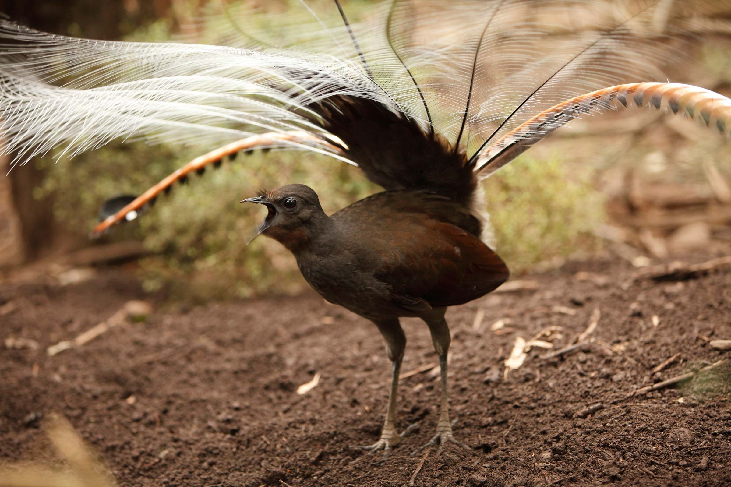 Lyrebirds are master imitators