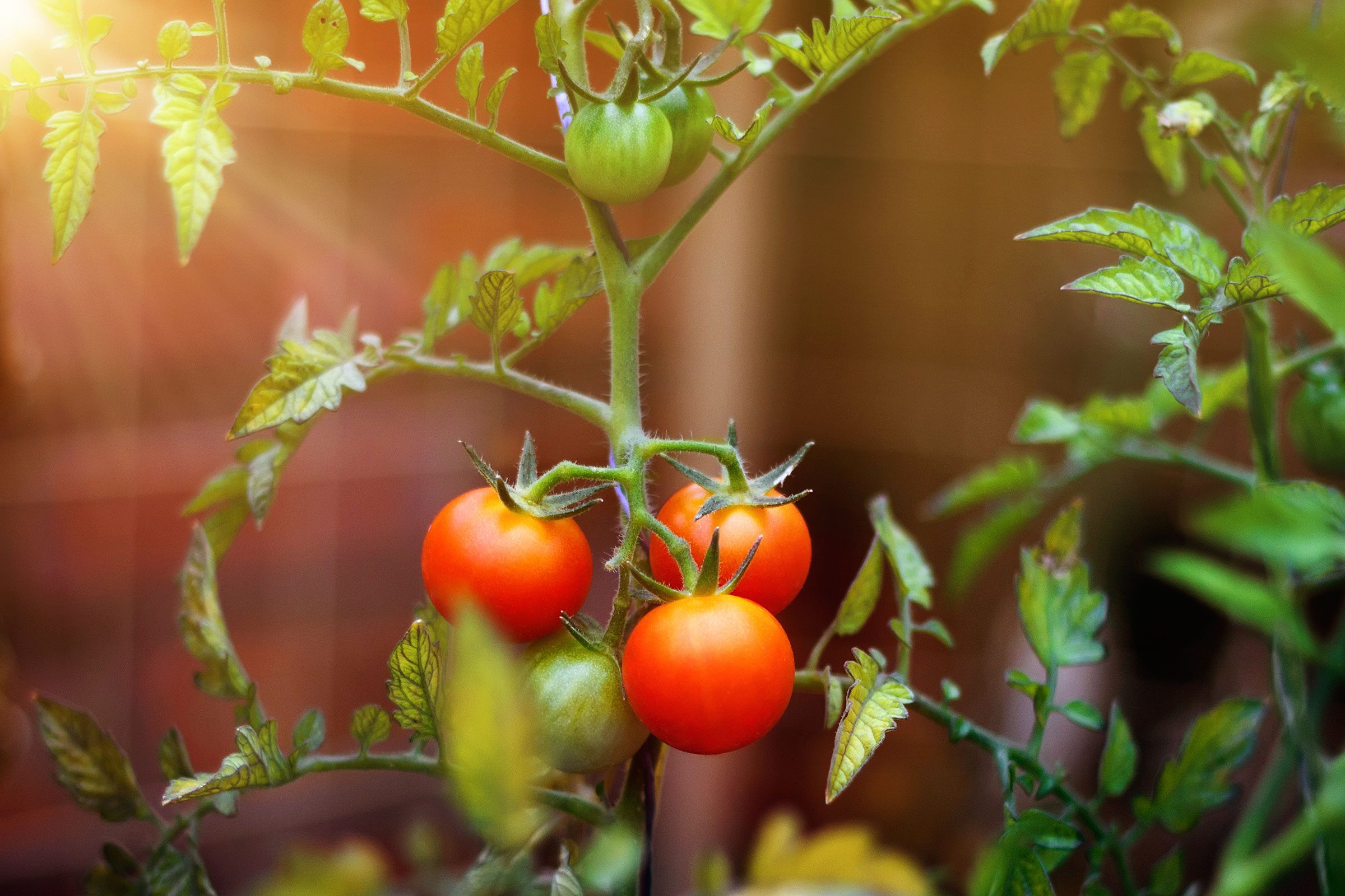 Ripen end-of-season tomatoes