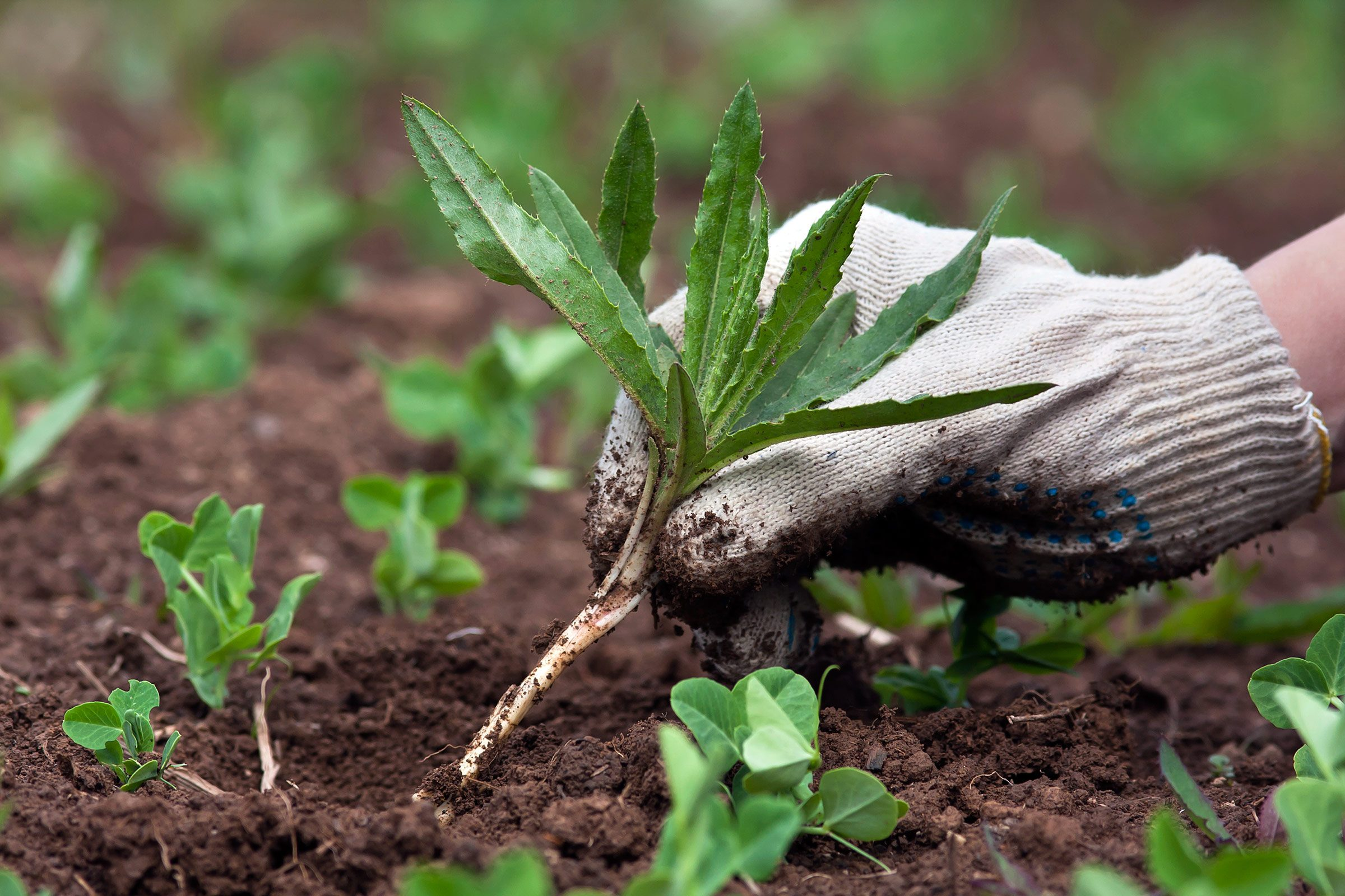 Natural weed killers control weeds without chemicals reader 39 s digest - Weeding garden make work easier ...
